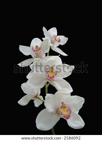 Photo of white orchids (isolated on black) - stock photo