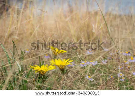 Photo of wind blown flowers in a dry yellow grass field - stock photo