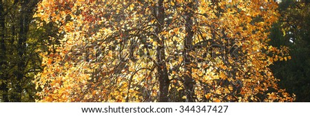 Photo panoramic shot of tall autumn trees changing color with vivid golden yellow leaves on green heavy foliage background, horizontal picture  - stock photo