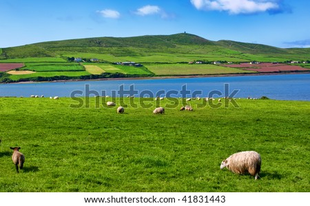 photo sheep in rural landscape for farming - stock photo