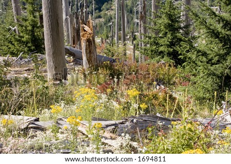 Photo showing the re-birth of the forest around and area that was destroyed by the eruption of Mt. St. Helens. - stock photo