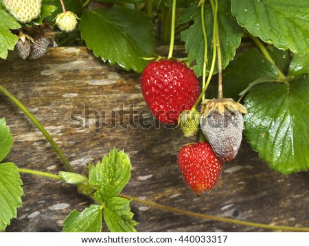 photo shows a close up of Botrytis Fruit Rot or Gray Mold of strawberries - landscape format - stock photo