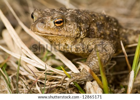 photo with wet brown frog portrait - stock photo