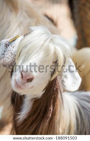 Photogenic goat - stock photo