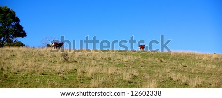 Photograph featuring cows on a hill near Rapid Bay, South Australia. - stock photo