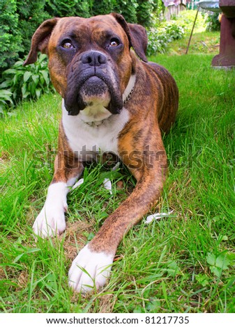 Photograph of a  boxer dog laying on a lawn - stock photo