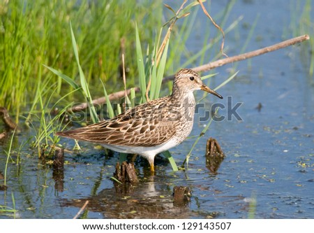 Photograph of a drab colored Pectoral Sandpiper wading in the shallow waters of a midwest wildlife refuge. - stock photo