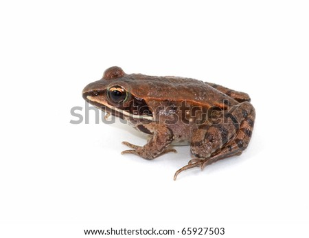 Photograph of a juvenile and very beautifully marked, Wood Frog, Rana sylvatica, isolated against a white background. - stock photo