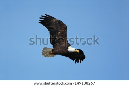 Photograph of a majestic Bald Eagle flying past the photographer while hunting for fish in the patches of open water on an otherwise frozen Mississippi River in Wisconsin. - stock photo