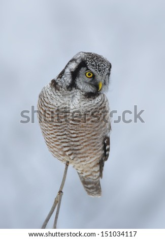 Photograph of a Northern Hawk Owl perched high on a twig overlooking a field in the midwest during its winter visit to northern Wisconsin. - stock photo