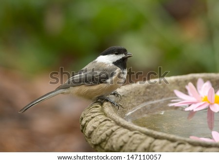 Photograph of a perky little Black-capped Chickadee perched on the edge of a birdbath amidst beautiful autumn colors in a midwest garden. - stock photo