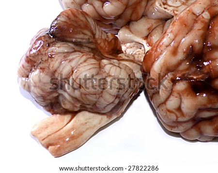Photograph of a real brain isolated on white background - stock photo