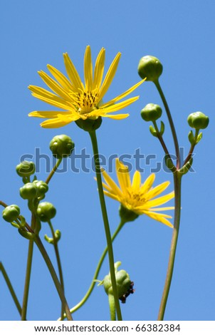 Photograph of a tall prairie flower reaching into a beautiful blue sky in Wisconsin. - stock photo