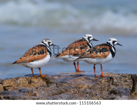 Photograph of a trio of beautiful breeding plumaged Ruddy Turnstones resting on a rocky midwest beach as they take a brief stop in their northward migration. - stock photo