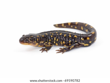 Photograph of an adult Tiger Salamander, Ambystoma tigrinum, isolated against a white background. - stock photo