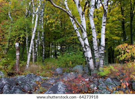 Photograph of an autumn forest, high on a large hill called Rib Mountain in the northwoods of Wisconsin with splendid changing colors, moss, rocks and the brilliant white bark of a Birch Tree. - stock photo