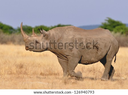 Photograph of the critically endangered Black Rhinoceros, Diceros bicornis, also called hook-lipped rhinoceros. - stock photo