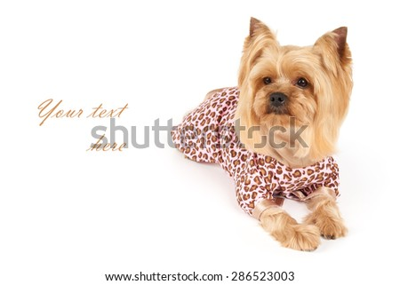 Photograph of the Yorkshire Terrier in patchy coveralls with space for text                            - stock photo