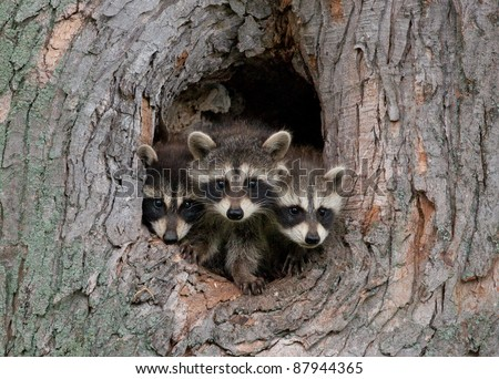 Photograph of three young raccoons scrambling over each other to peer out a hole in a large tree in the midwest. - stock photo