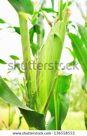 photographed by a close up ears mature corn at Thailand - stock photo