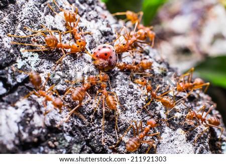 Photos of a swarm of ants  surrounded  ladybug. - stock photo