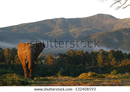 Photos of Africa, African Elephants - stock photo