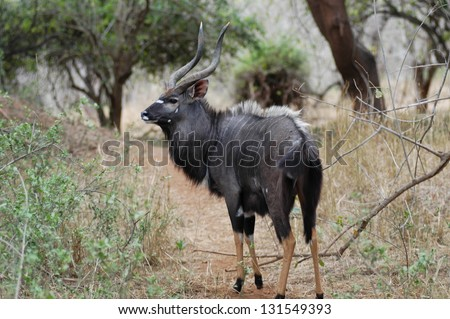 Photos of Africa, bull in forest - stock photo