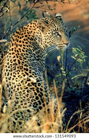 Photos of Africa, Leopard from the back - stock photo