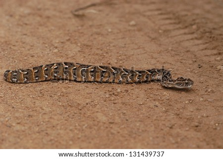 Photos of Africa, Snake Puff adder on ground - stock photo