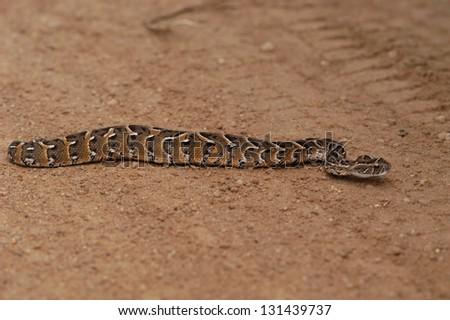 Photos of Africa, Snake Puff adder on ground - stock photo