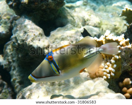 Picasso trigger fish and reef - stock photo