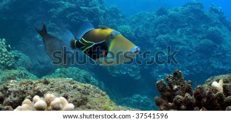 Picasso Triggerfish at Black Rock, Kaanapali, Maui. - stock photo