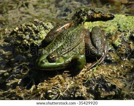 pickerel frog - stock photo