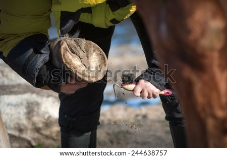 Picking a hoof with a hoof pick - stock photo