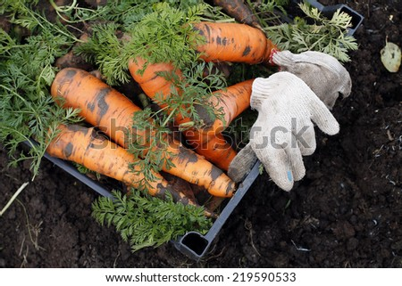 Picking carrots. patch vegetable  - stock photo