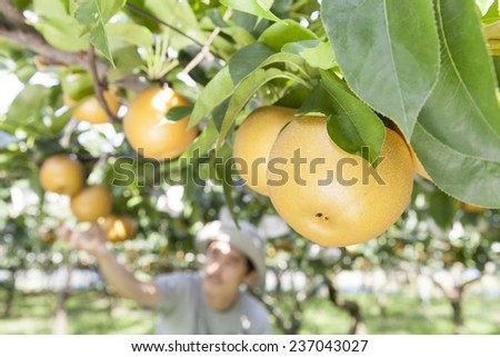 picking pear - stock photo