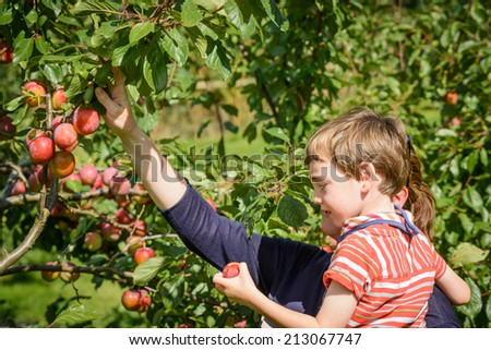 Picking plums on a lovely summers day - stock photo