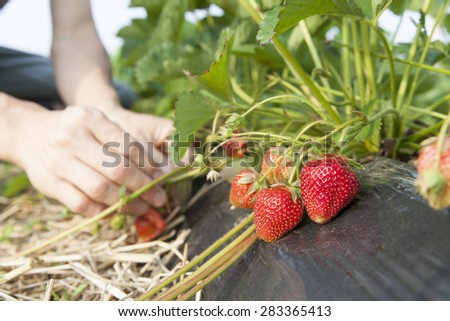picking strawberry  - stock photo