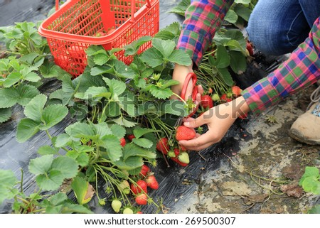picking strawberry in garden  - stock photo
