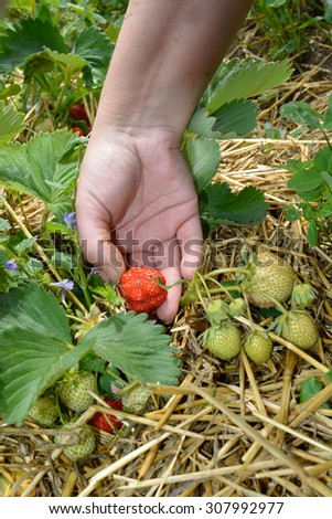 Picking up ripe strawberry from the garden between unripe strawberries in spring. - stock photo