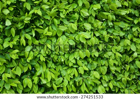 Picture describes a texture or background of green leaves, the bright light makes nice and relaxing color. - stock photo