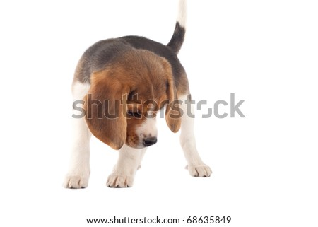 picture of a beagle looking at something in front of white background - stock photo