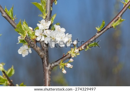 Picture of a blackthorn blooming in late March on a hill near Sangeorgiu de Mures, Mures County, Transylvania, Romania. - stock photo