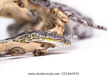 Picture of a corn snake on a white background - stock photo