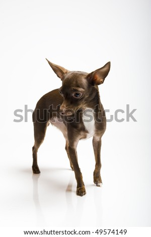 Picture of a funny curious toy terrier dog looking up. white background - stock photo