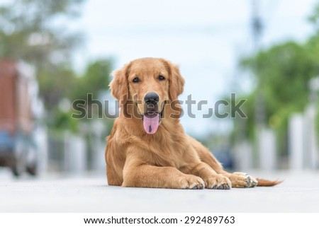 Picture of a Golden Retriever - stock photo