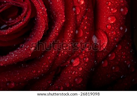 Picture of a rose in the dew drops on a black background - stock photo