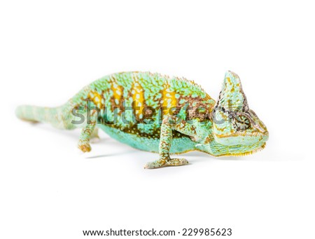 Picture of a Veiled chameleon - stock photo