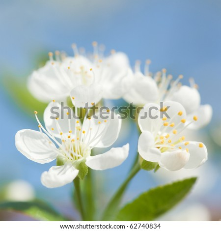 picture of apple flower close-up on a light blue background - stock photo