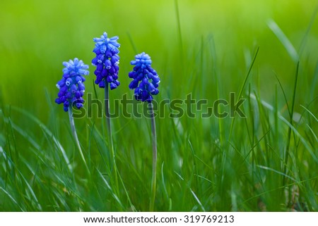 Picture of blue muscari with green grass - stock photo